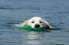 golden-retriever-662817_960_720