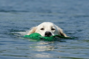 golden-retriever-662817_960_720.jpg
